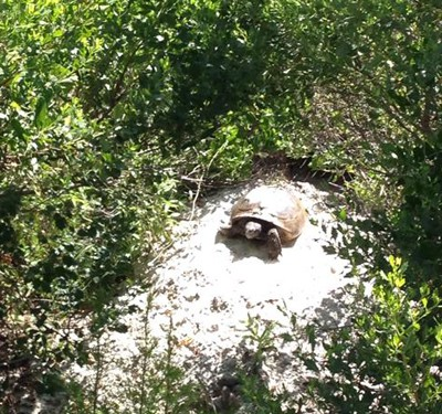 St. Augustine Turtle