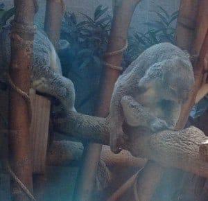 Very tired koala bears