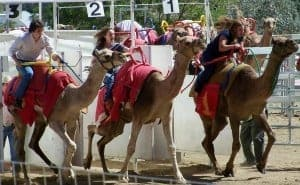 Camel Race Courtesy of Virginia City Tourism Commission