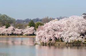 2018 Cherry Blossom Festival