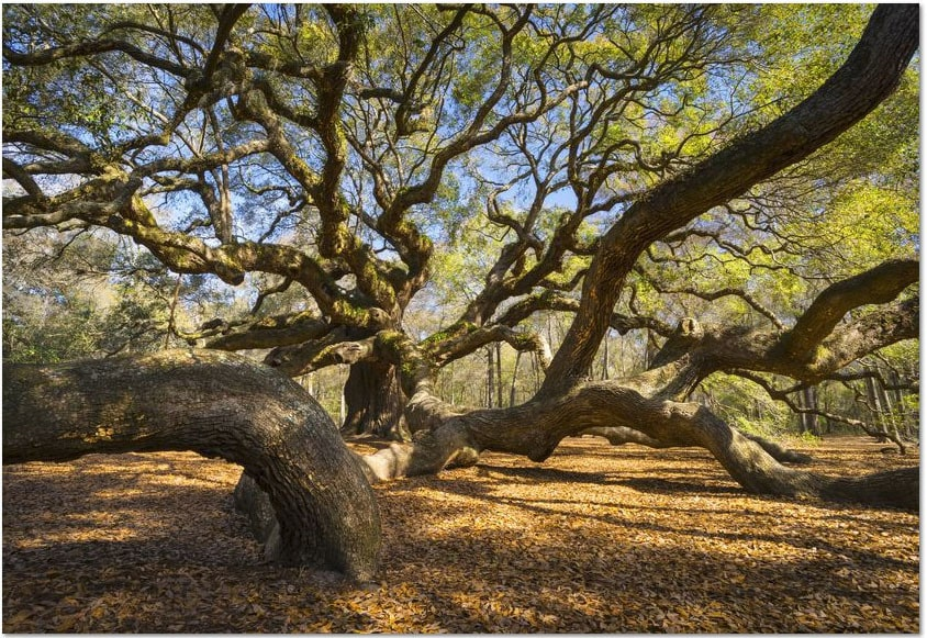 Famous Trees in the US
