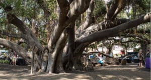 The Lahaina Banya Tree