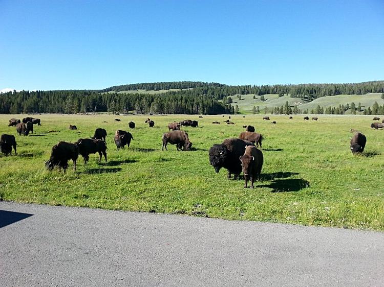 Bison grazing in Hayden Valley in Yellowstone Naional Park