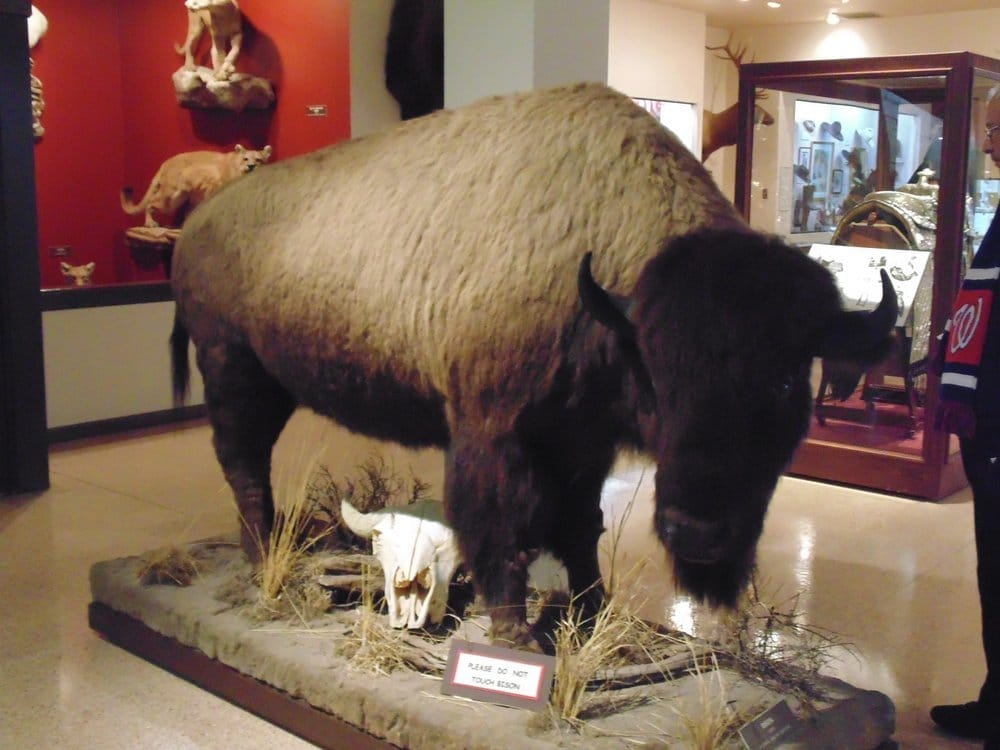 bison at Nelson Museum