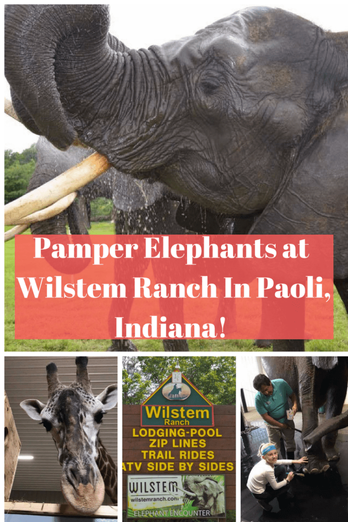 Ever wanted to get up close and personal with an elephant? Wilstem Ranch offers a chance to pet a giraffe and even help give an elephant a pedicure!