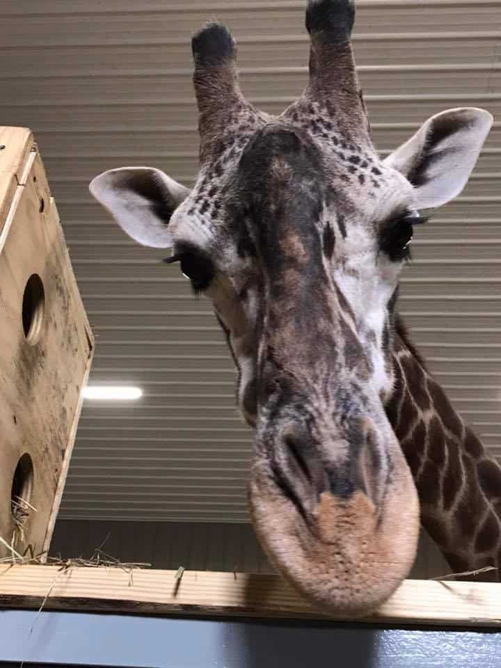 Giraffe Encounter in Paoli, Indiana